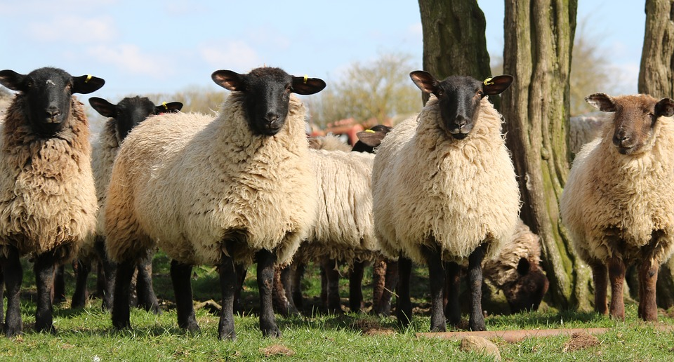 sheep-1306621_960_720